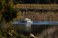 Piękny whooper łabędź, Cygnus cygnus na spokojnym miejscu przy zalewającą rzeką zdjęcia royalty free