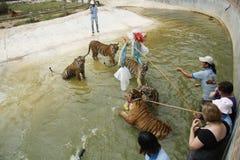 Pièce de gens avec des tigres dans l'eau Photographie stock