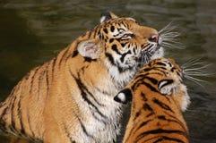 Pièce de tigres dans l'eau Photographie stock