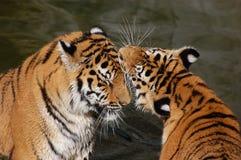 Pièce de tigres dans l'eau Photo libre de droits
