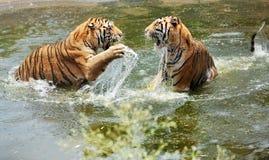 Pièce de tigres dans l'eau Photos stock