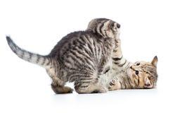 Pièce drôle de deux chatons de chat ensemble Image stock