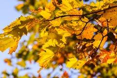 Pièce les branches d'arbre d'érable avec les feuilles d'automne jaunes Image libre de droits
