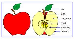Pièces de fruit Photo libre de droits