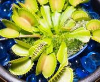 Piège de mouche de Vénus et x28 ; Muscipula& x29 de Dionaea ; Image stock