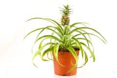 Piña de Bromeliad Foto de archivo