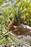 Piña enana hawaiana (piña Nanus) Imágenes de archivo libres de regalías