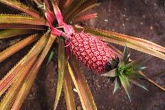 Piña roja que crece en una plantación en la isla de Oahu fotografía de archivo