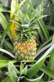 Piña tropical fresca en el árbol en granja Foto de archivo libre de regalías