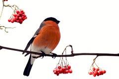 Piñonero hermoso de pecho rojo entre bayas de la ceniza de montaña roja Imagen de archivo libre de regalías