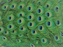 pióra pawia Obraz Stock