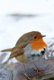 piórka chuchający rudzika śnieg w górę zima Fotografia Royalty Free