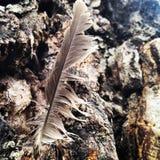 Piórko w drzewie Fotografia Royalty Free