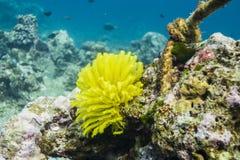 Piórkowa gwiazda przy Surin wyspą Zdjęcie Royalty Free