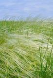 Piórkowa trawa Obraz Royalty Free