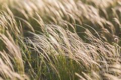 Piórkowa trawa Zdjęcia Stock