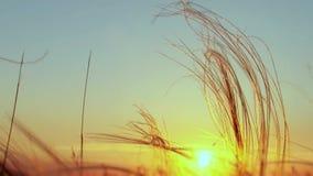 Piórkowa trawa Przy zmierzchem zbiory wideo