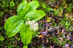 Piórkowata fałszywa leluja doliny Maianthemum racemosum kwitnienie w lesie w San Francisco zatoki terenie, Kalifornia zdjęcia stock