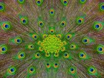 piórkowy deseniowy peafowl Obrazy Royalty Free
