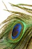 piórkowy paw Fotografia Royalty Free
