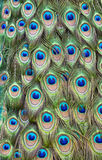 piórkowy pawi ogon Fotografia Royalty Free