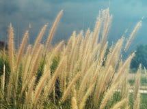 Piórkowy pennisetum, misi trawy kwiatu roślina na drogi stronie, lato stylu filtr Obrazy Royalty Free