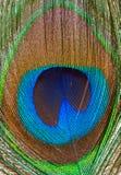 piórkowy zbliżenie paw Zdjęcie Royalty Free