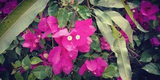 Più basso rosa curioso fotografie stock libere da diritti