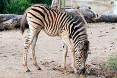 Più giovane zebra che cammina e che mangia foglia Fotografia Stock Libera da Diritti