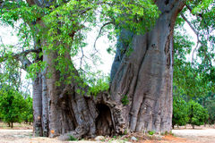 Più grande baobab in Sudafrica Immagine Stock