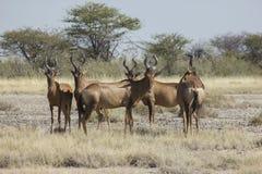 Più hartebeest rosso, Namibia Immagini Stock