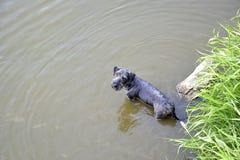 Più terier ceco nell'acqua Fotografia Stock Libera da Diritti