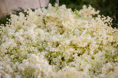 Più vecchi fiori immagini stock