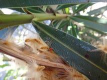Più vecchia crisalide dell'insetto in baccello dell'oleandro Immagini Stock Libere da Diritti