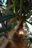 Più vecchia crisalide dell'insetto in baccello dell'oleandro Fotografia Stock Libera da Diritti