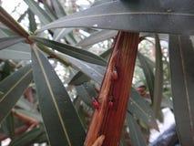 Più vecchia crisalide dell'insetto nella pianta dell'oleandro Immagini Stock