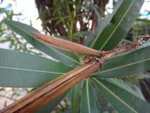Più vecchia crisalide dell'insetto nella pianta dell'oleandro Fotografie Stock