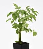 Più vecchia pianta Fotografia Stock