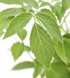 Più vecchie foglie della pianta Immagini Stock Libere da Diritti