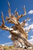 Più vecchio albero del mondo: il pino di Bristlecone Immagini Stock Libere da Diritti
