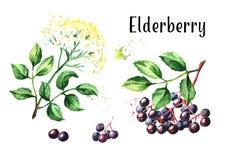 Più vecchio insieme del fiore e della bacca di sambuco del fiore Illustrazione disegnata a mano dell'acquerello, isolata su fondo illustrazione di stock