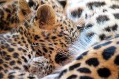 Pić Jaguar dziecka z zamkniętymi oczami Zdjęcie Royalty Free