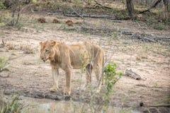 Pić lwa w Kruger parku narodowym, Południowa Afryka fotografia stock