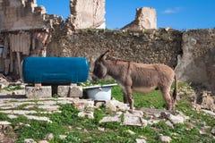 Pić osła przy podlewania miejscem barnyard zdjęcie stock