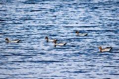 Pięć Australijskich drewnianych kaczek pływa w Jeziornym Jindabyne obrazy stock