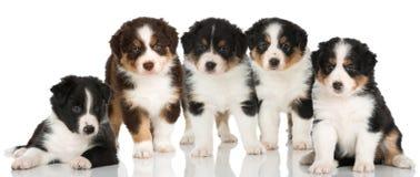 Pięć australijskich pasterskich szczeniaków Zdjęcie Stock