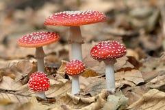 Pięć czerwonych pieczarek grzybów Obraz Stock