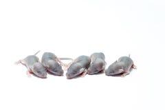 Pięć dziecko mysz Fotografia Stock