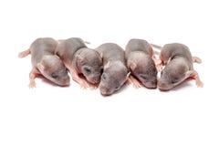 Pięć dziecko mysz Obraz Royalty Free