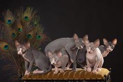 pięć figlarek sphynx zdjęcie stock